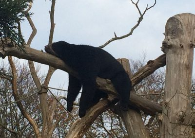 Lazy bear at Gerald Durrell Zoo, Jersey