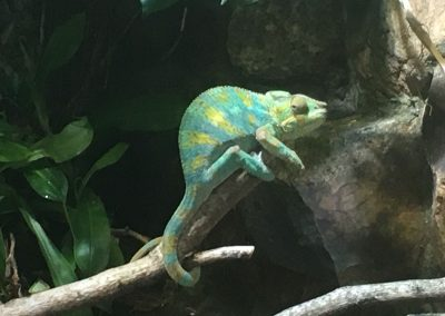 Grumpy chameleon